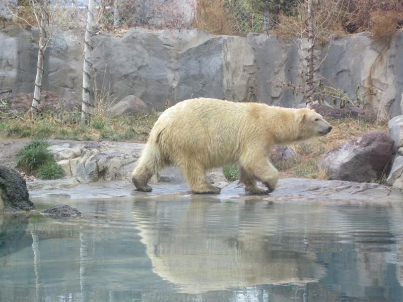 polar bear at Salt Lake Zoo